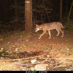 Il monitoraggio del lupo: il branco del Deutschnonsberg