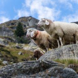 Il rientro delle pecore